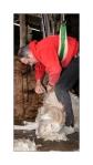 tonte des chèvres(1)